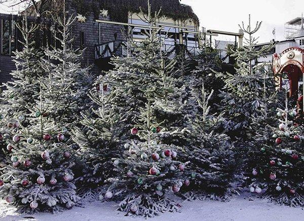 Christmas Trees in Denmark